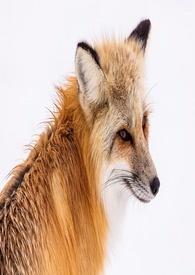狐狸殿下通緝中