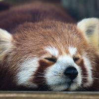 小熊貓不是熊貓
